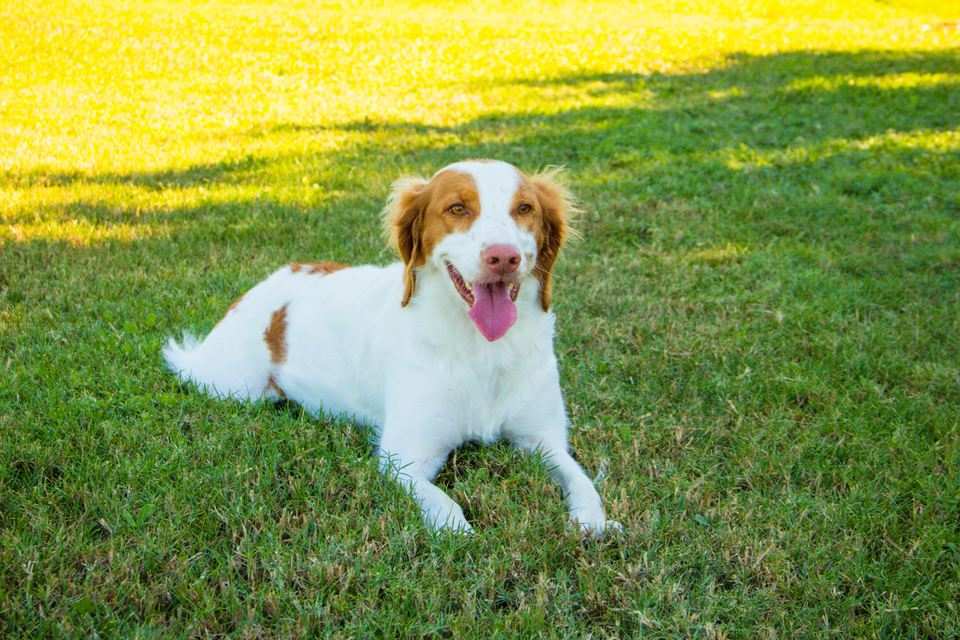 brittany spaniel dog lying on the grass