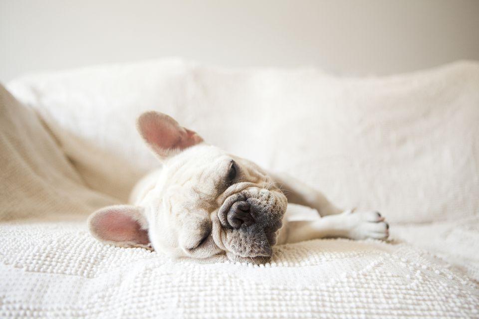 Perro francés durmiendo en el sofá