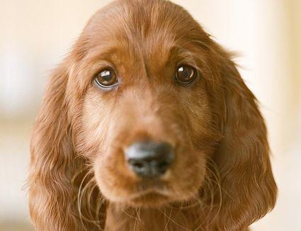 Irish setter puppy, close-up