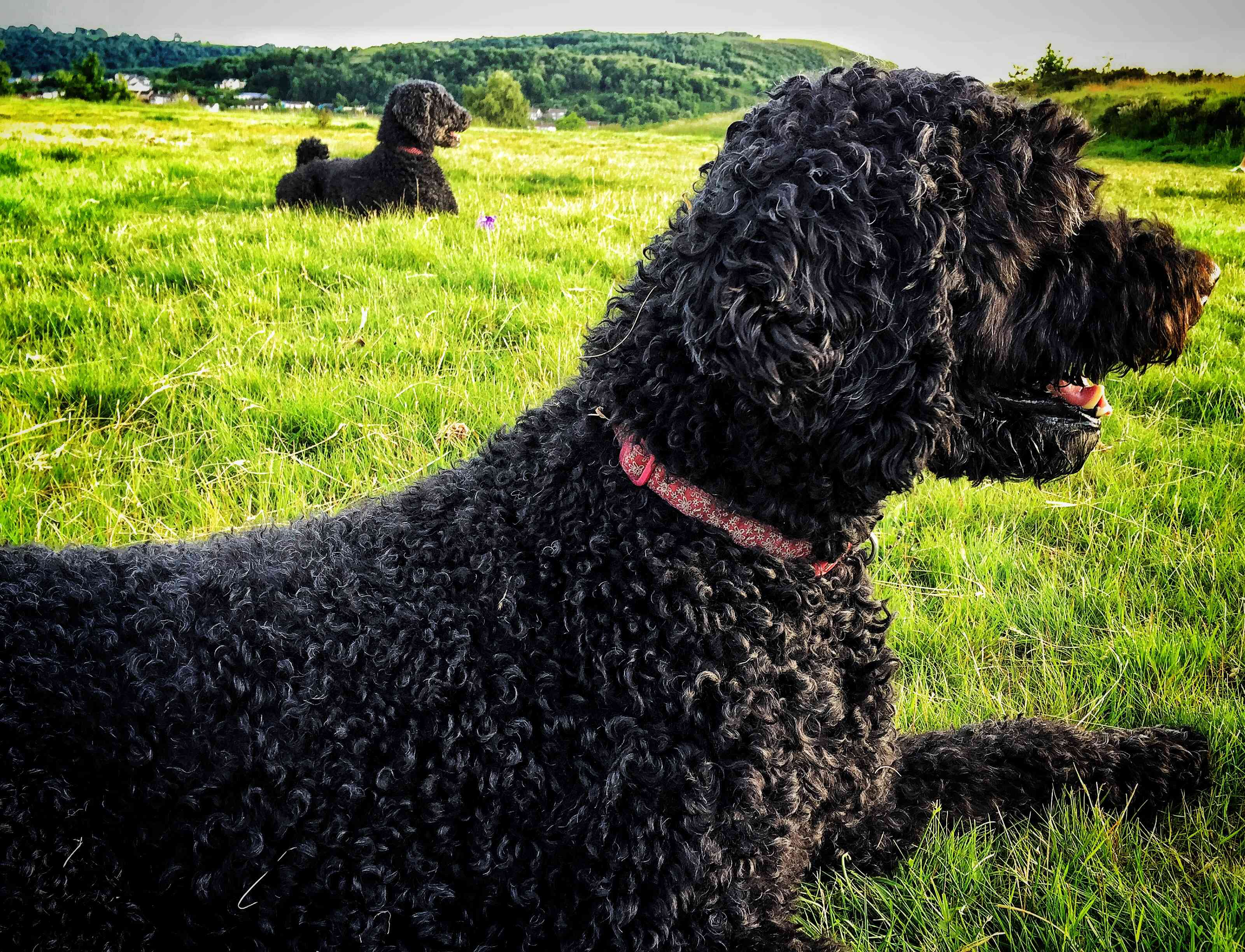 Two Portuguese water dogs outdoors