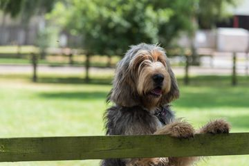 Otterhound looking over fence