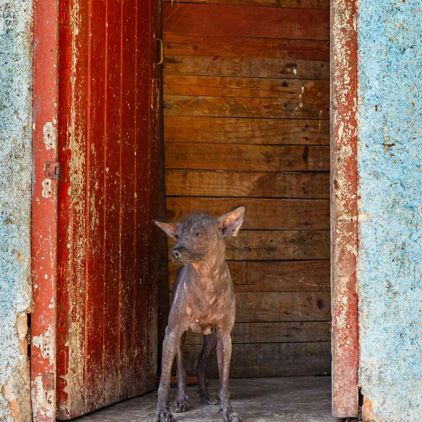 A small hairless dog standing on a cement step in front of a wooden door.
