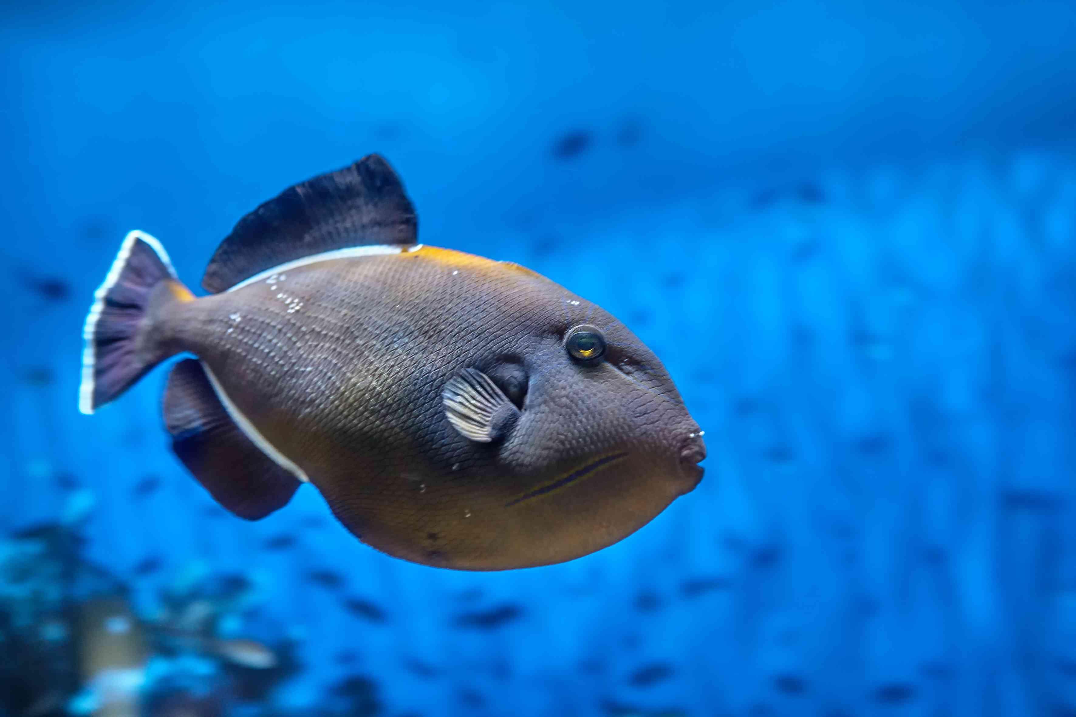 Coral reef fish Black Triggerfish or Melichthys indicus, seawater aquarium.