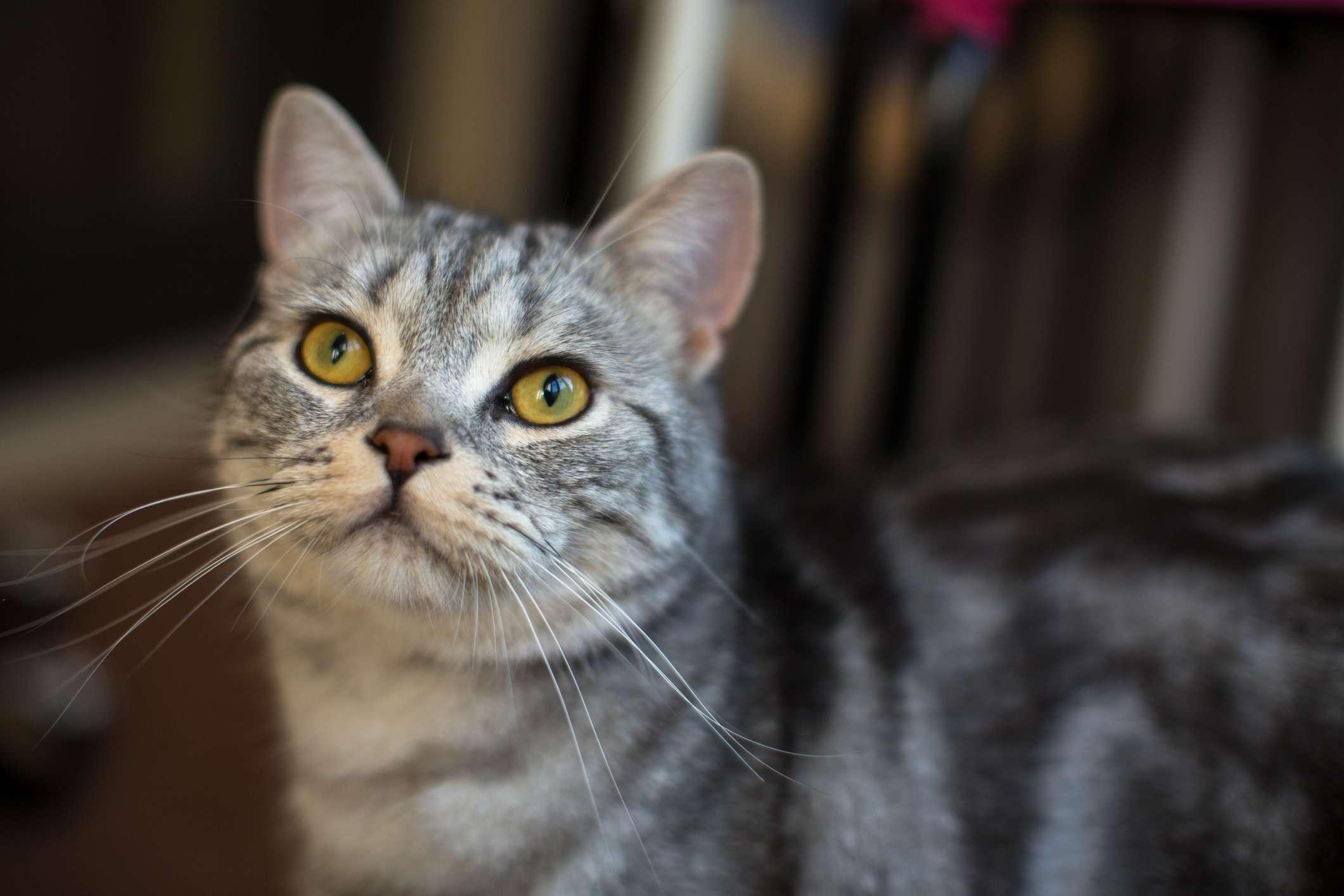 Gray striped American Shorthair cat.