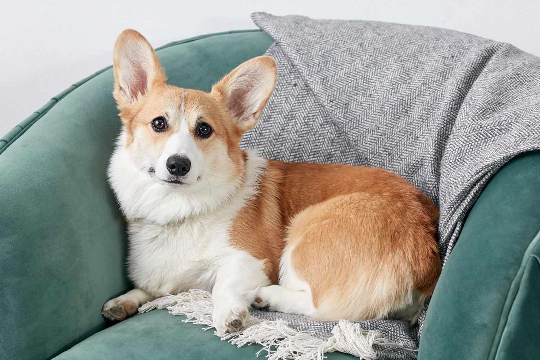 Corgi sitting on chair