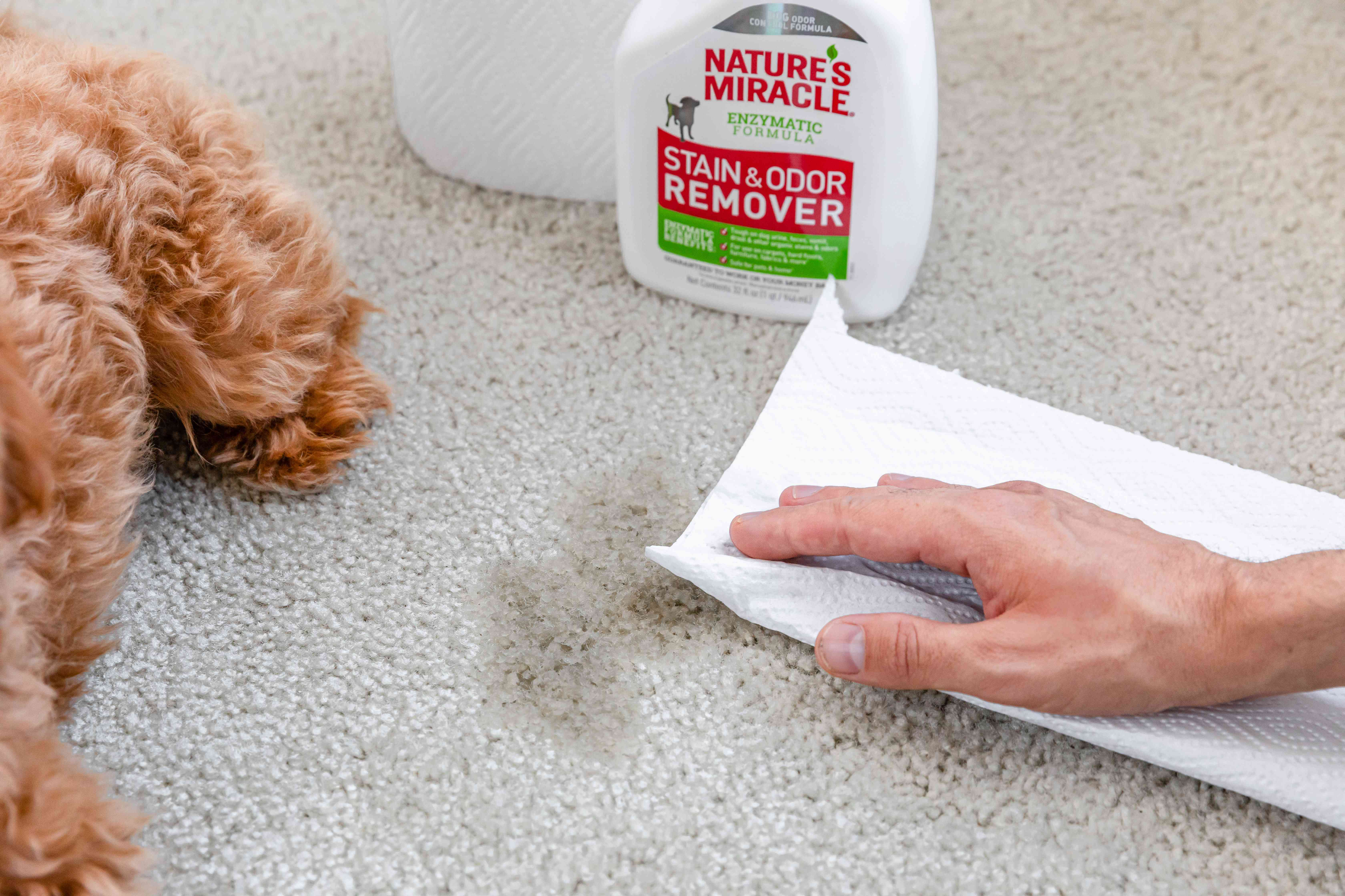 Paper towel blotting pee stain next to stain and odor remover bottle and brown-haired puppy