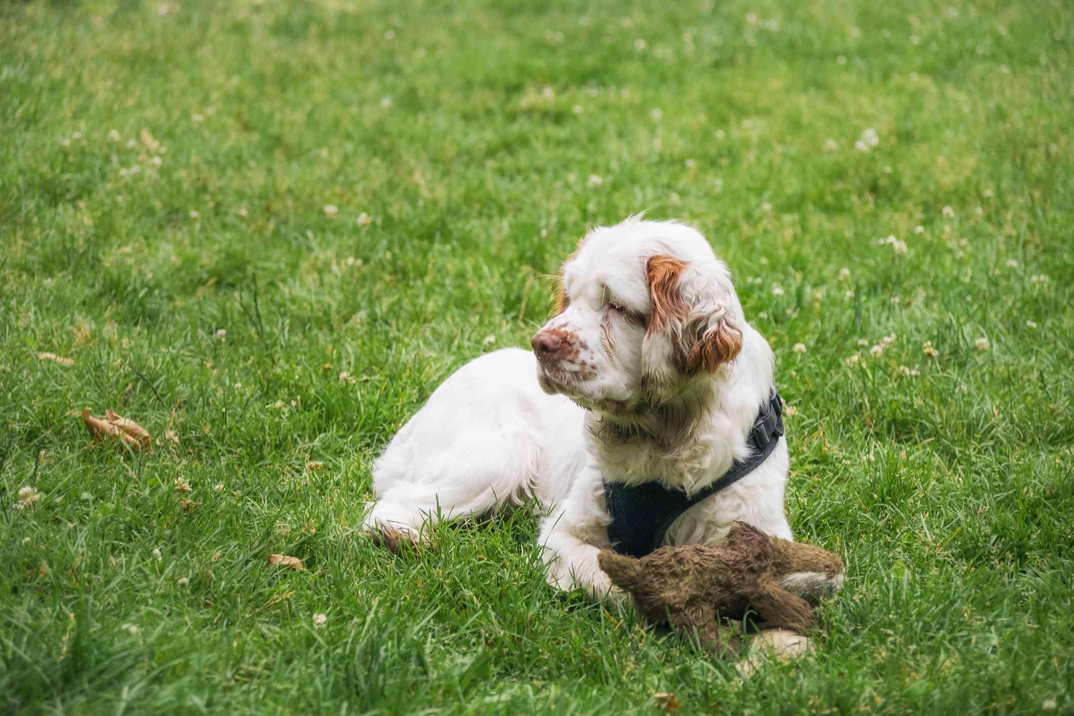 Joven Clumber Spaniel con juguete tumbado en la hierba