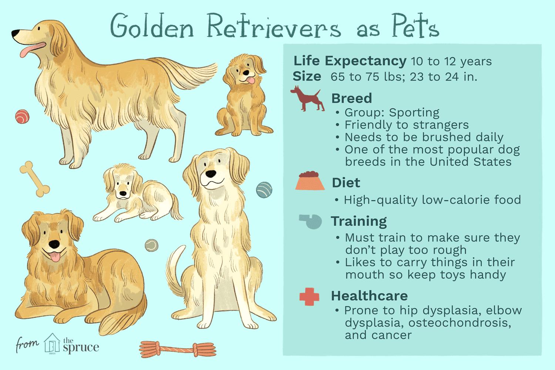 Golden retrievers como ilustración de mascotas