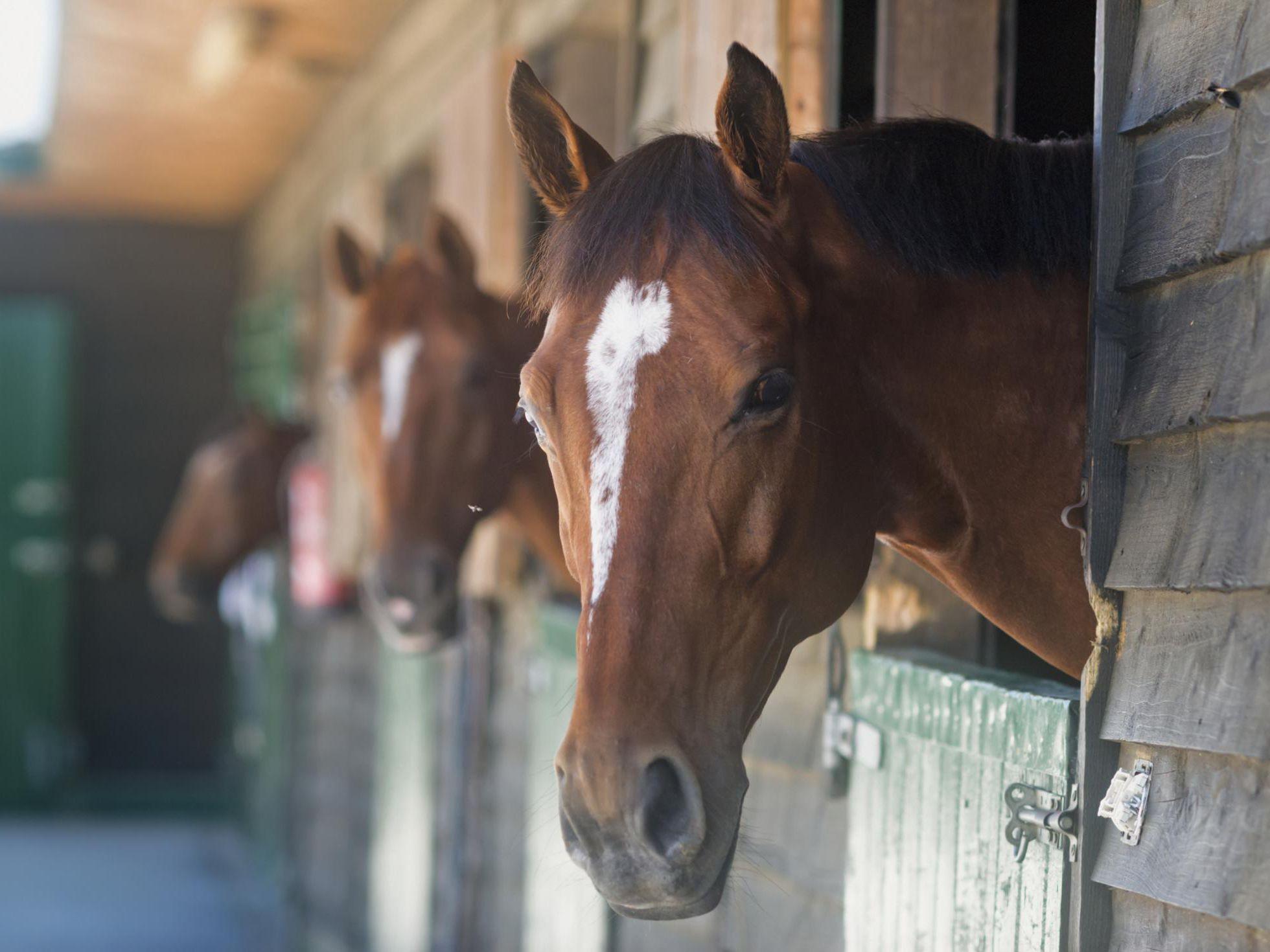 COPD, Broken Wind or Heaves in Horses