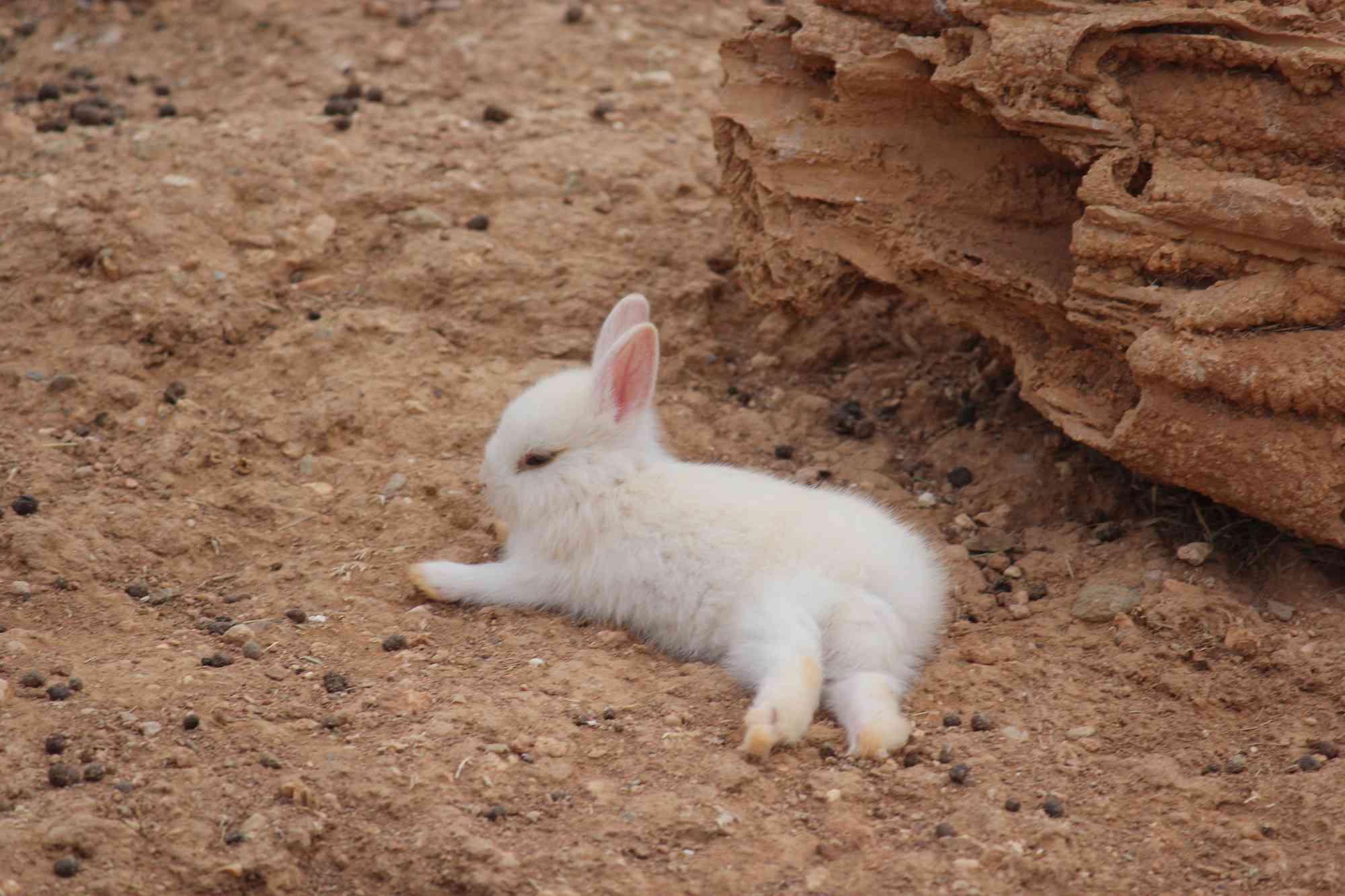 Conejo de lado