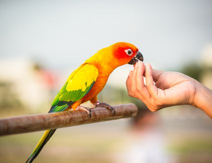 Parrot eating food in hand.