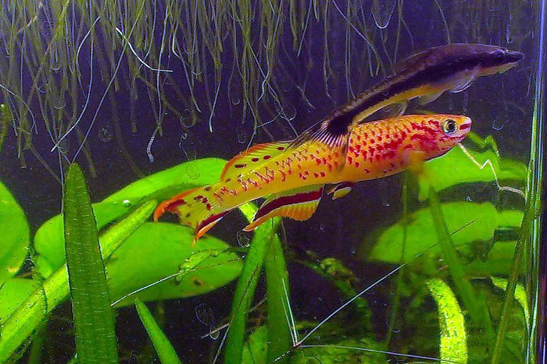 Two killifish, one black and one orange, swimming in an aquarium