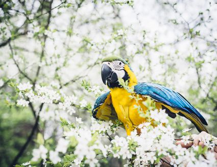 Macaw parrot sitting in cherry blossom tree