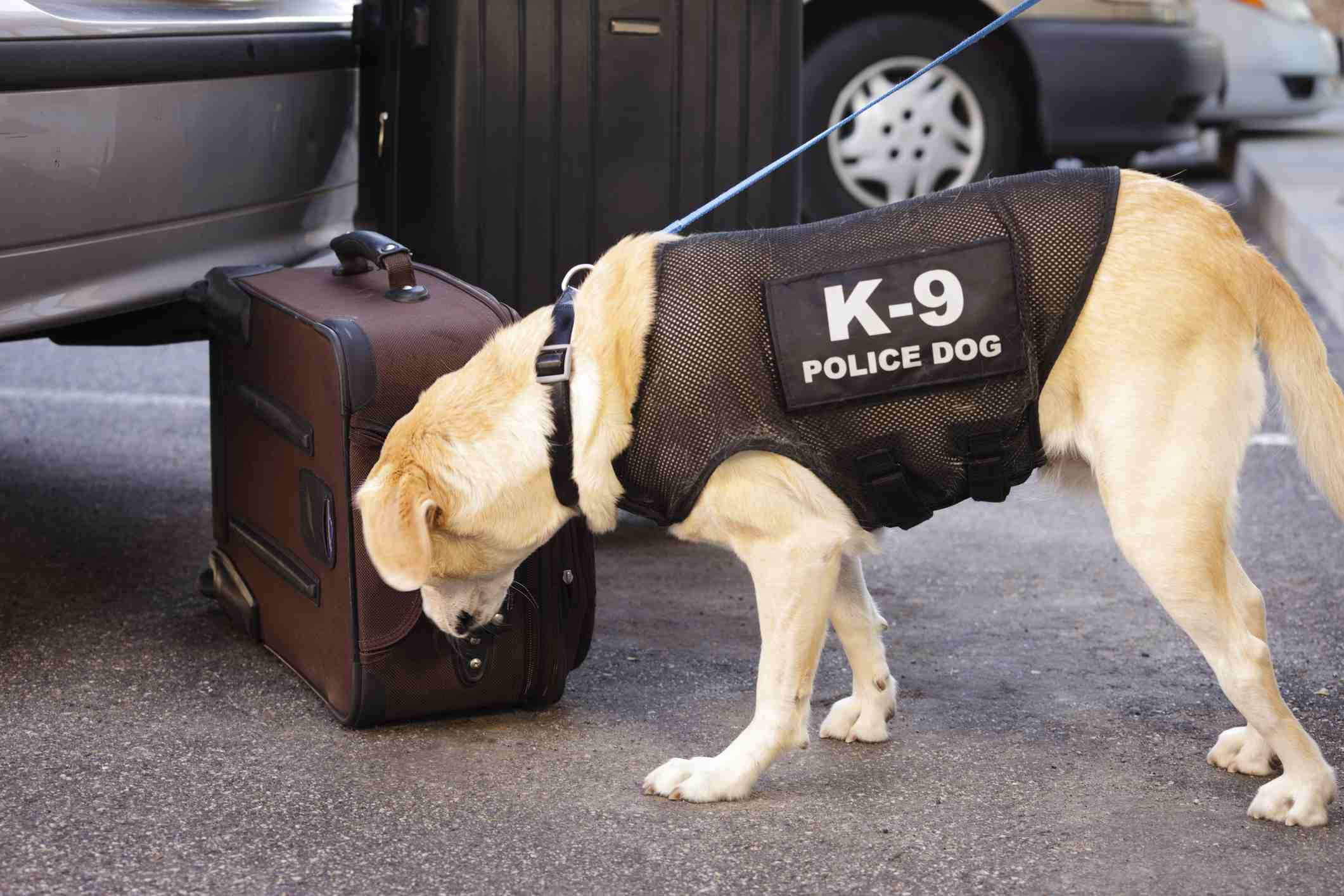Police dog sniffing suitcase