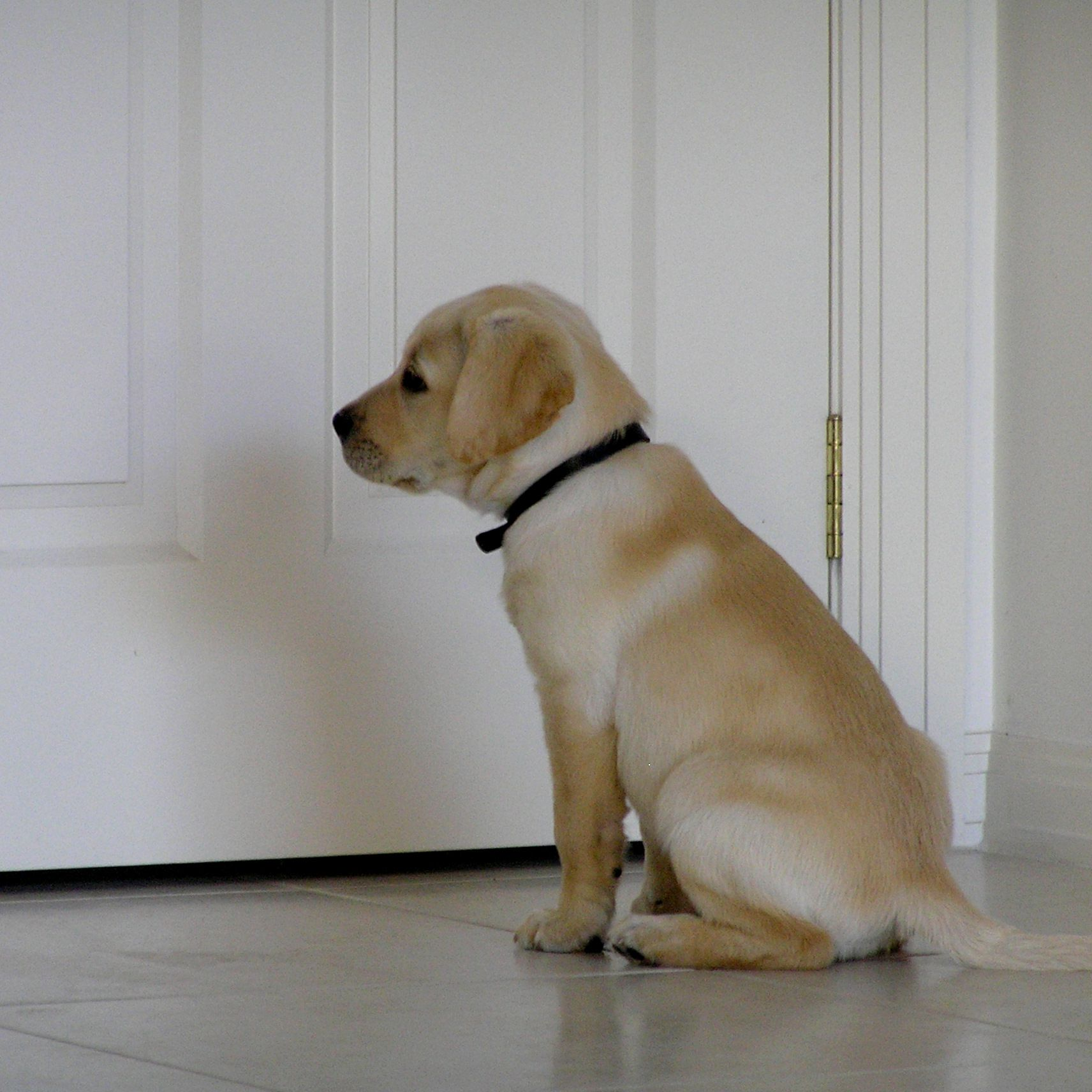 How to Train Your Puppy to Stay or Wait