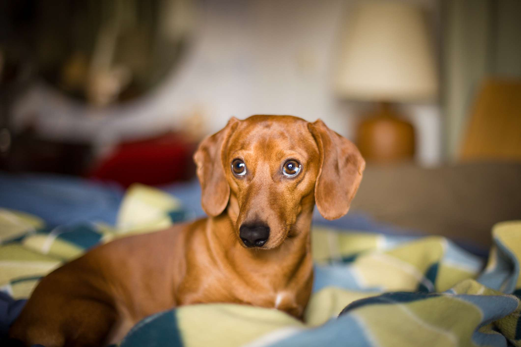 A brown dachshund lying on a bed