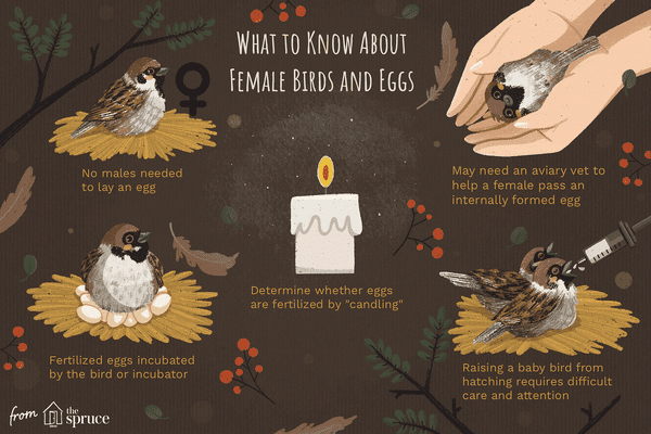 what to know about female birds and eggs illustration