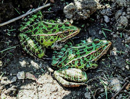 Two Leopard Frogs Outside in Dirt