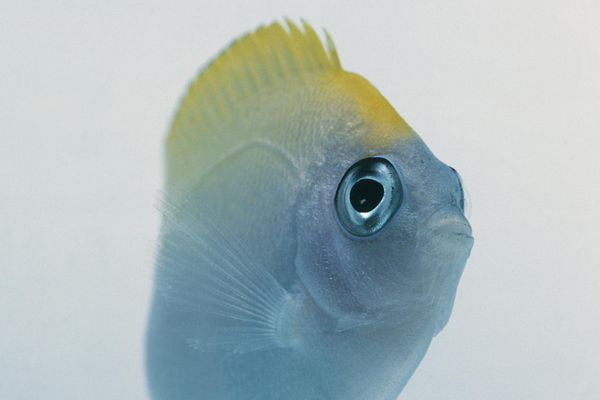 Swallowtail angelfish (Genicanthus sp.), front view