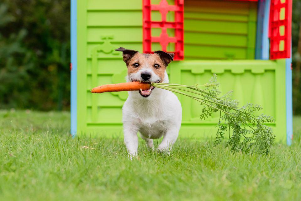 cachorro comiendo zanahoria