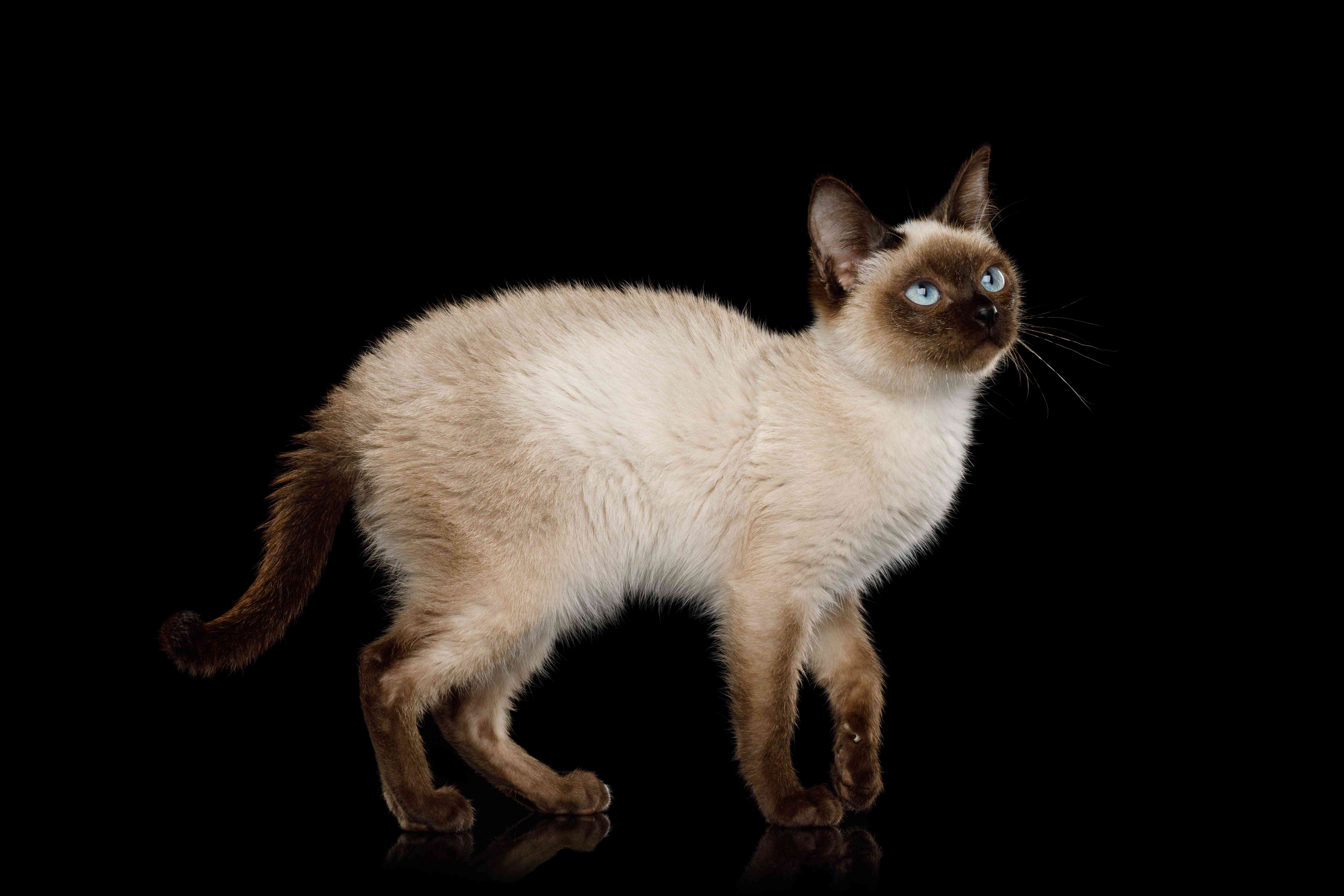 Scyth Toy Bob, the most smallest Cat on Isolated Black Background
