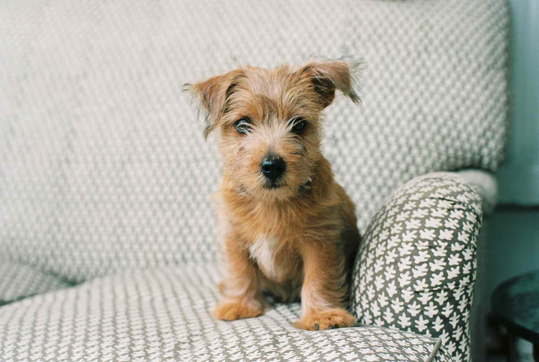 Norfolk terrier puppy sitting on couch