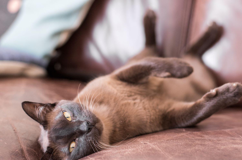 Burmese cat lounging on its back