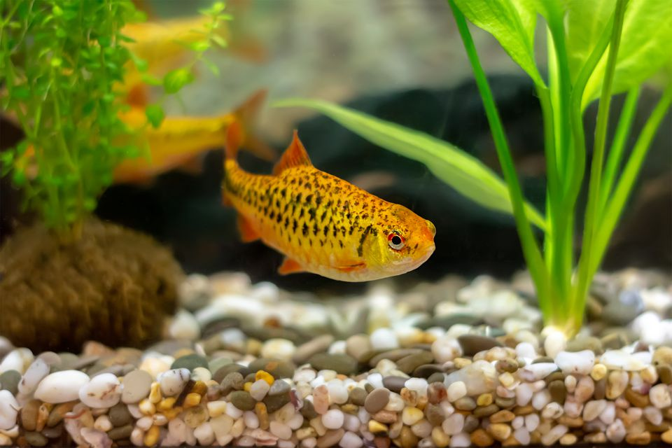 golden barb (schuberti barb, puntius semifasciolatus) in a home aquarium
