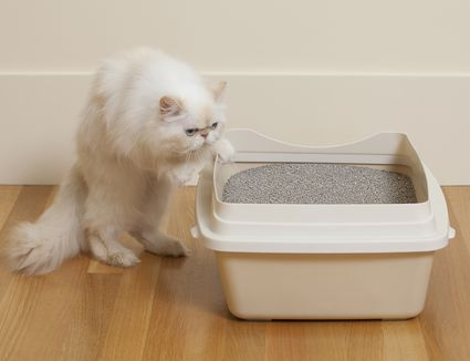 Persian cat sniffing litter box