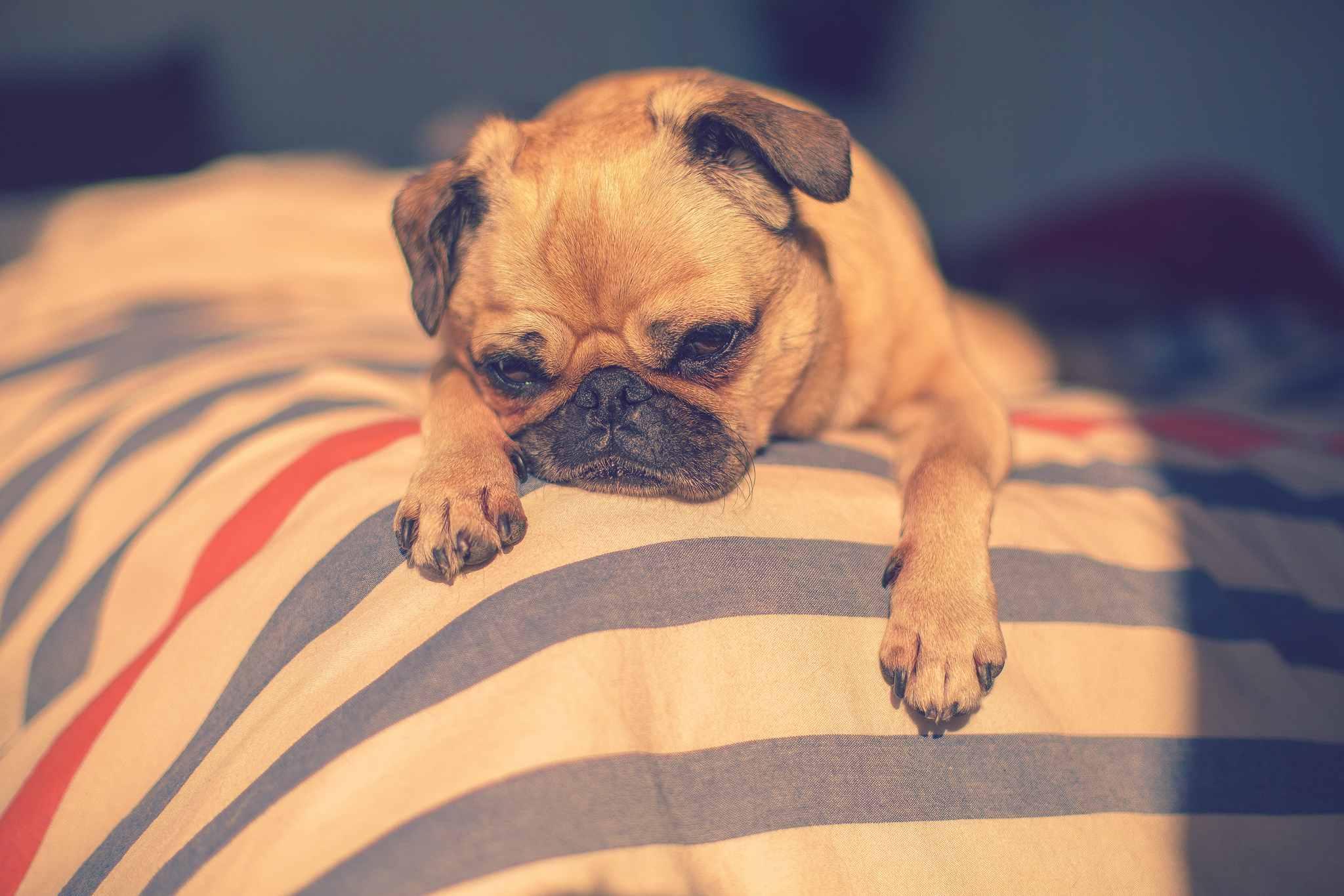 Sleepy small dog on corner of a bed