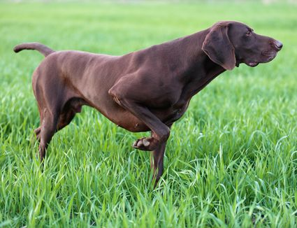 Chocolate brown colored German shorthair pointer dog pointing in green grass