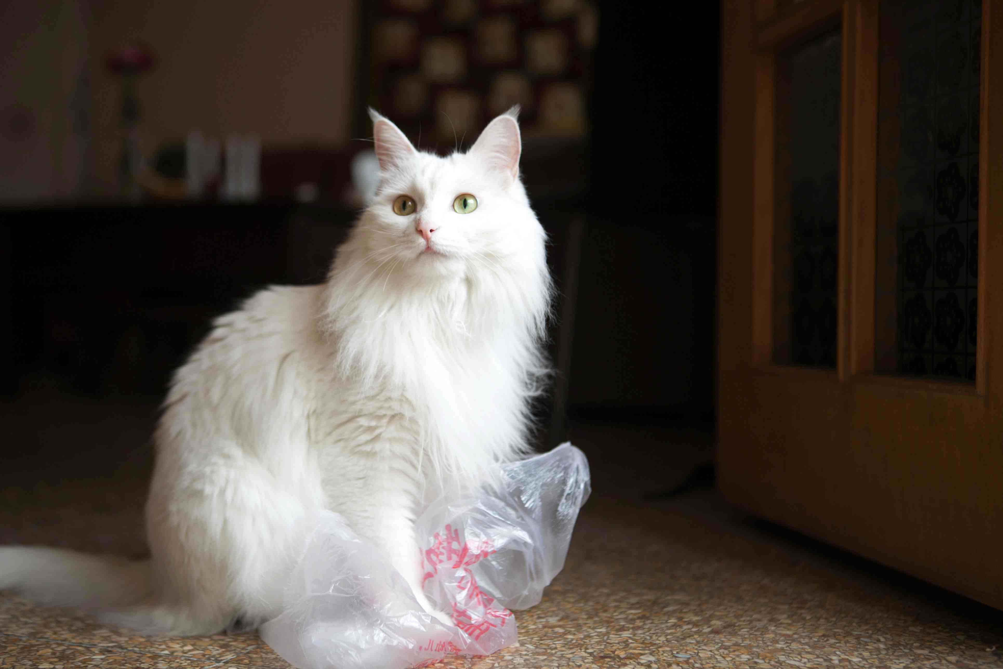 White cat playing with a plastic bag