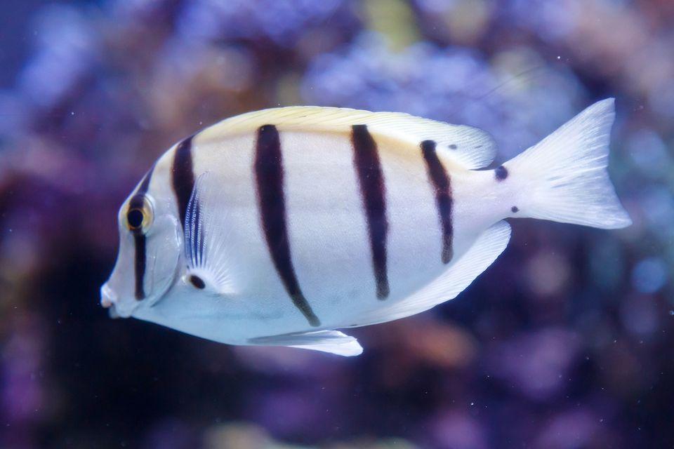 pez esturión negro