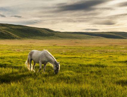White horse grazing in pasture