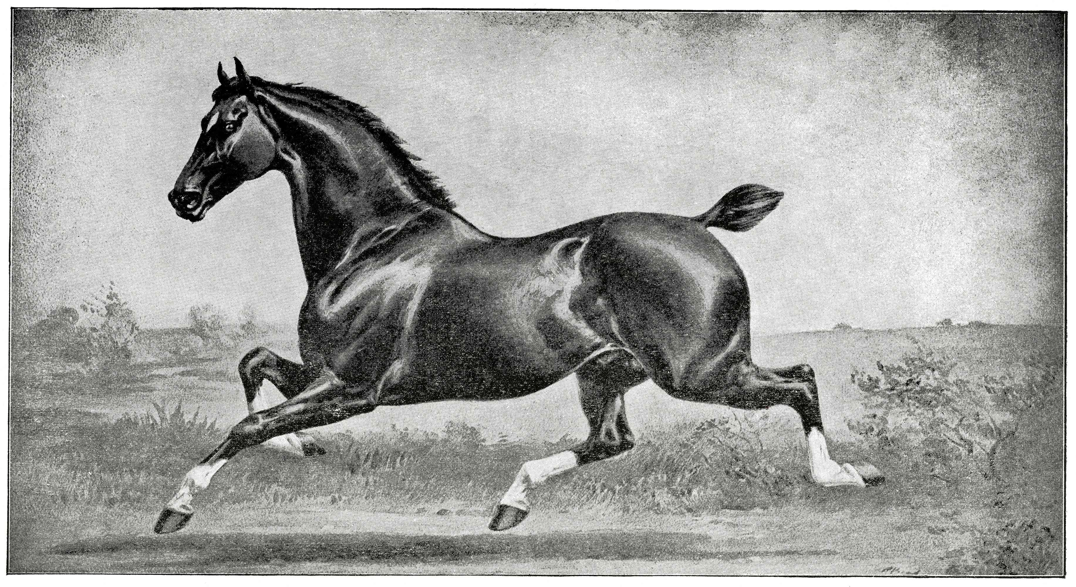 Drawing of a Hackney Horse trotting.
