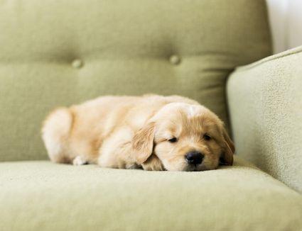 Portrait of puppy lying down on sofa