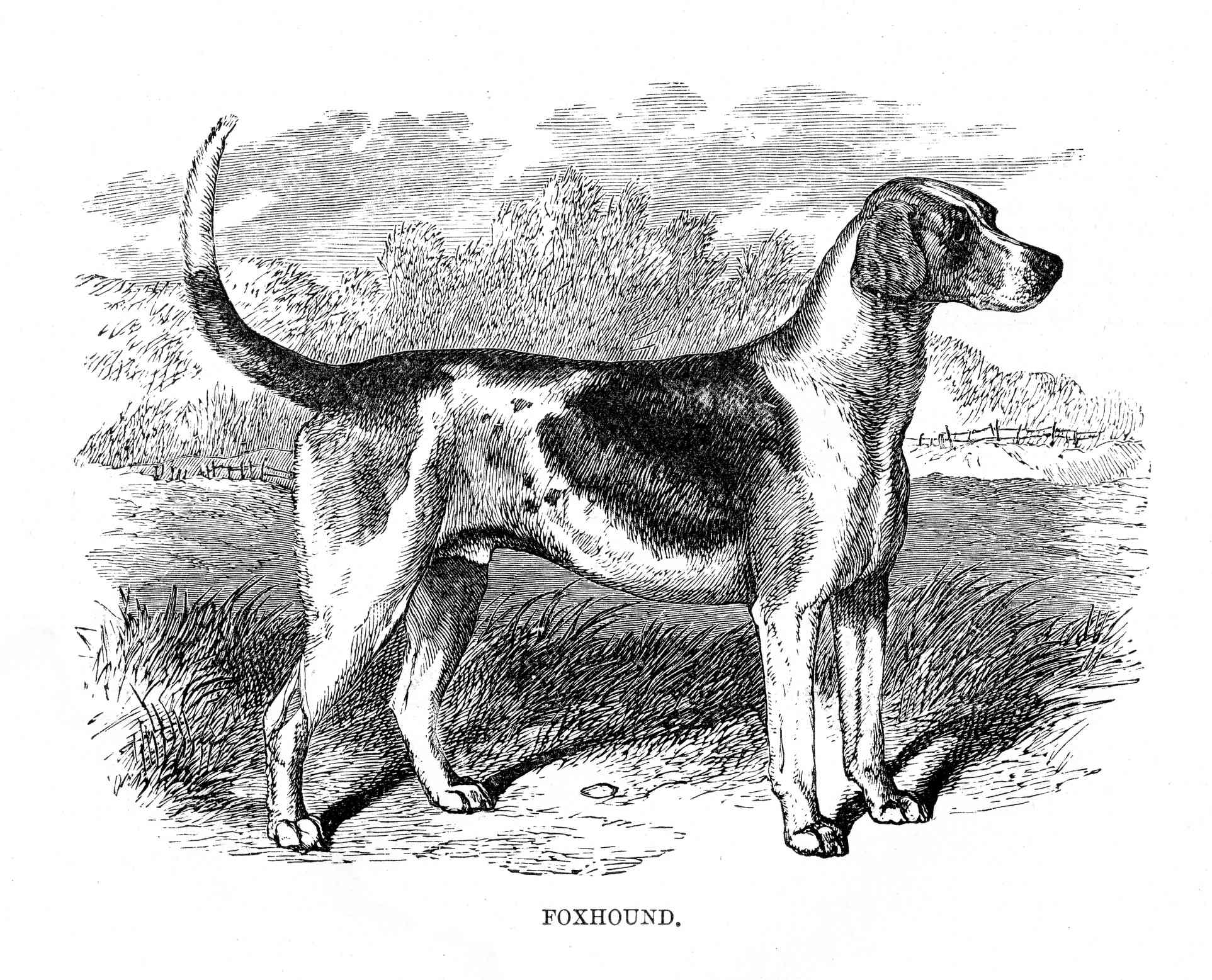 Illustration of American Foxhound in 1894, black and white foxhound