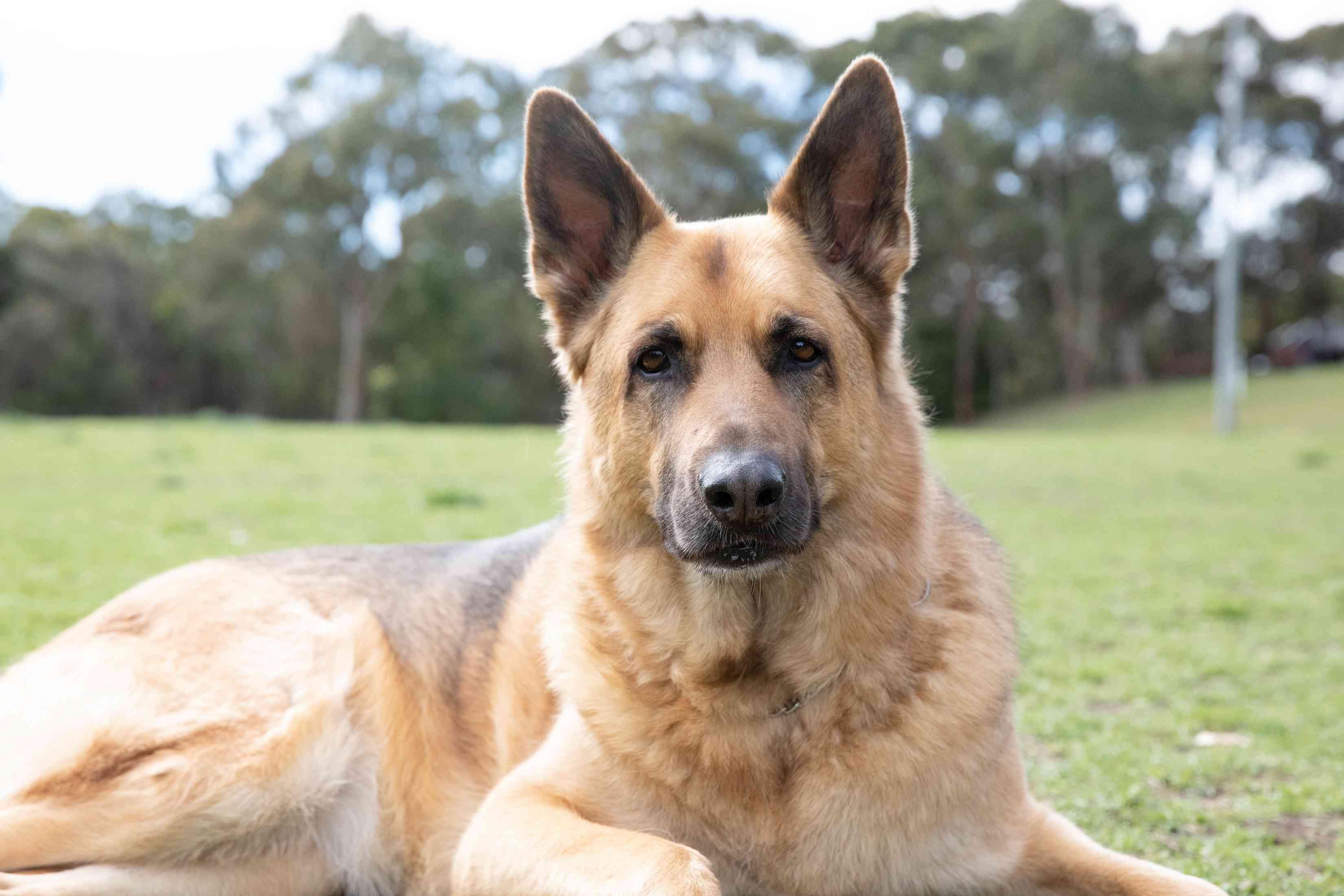 German shepherd dog with light brown fur coat laying on grass
