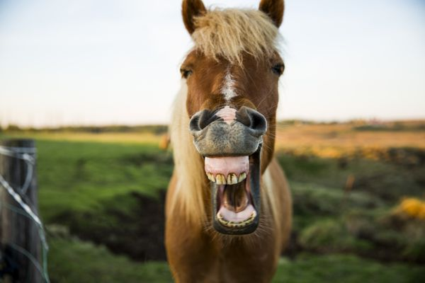 Horse with mouth wide open