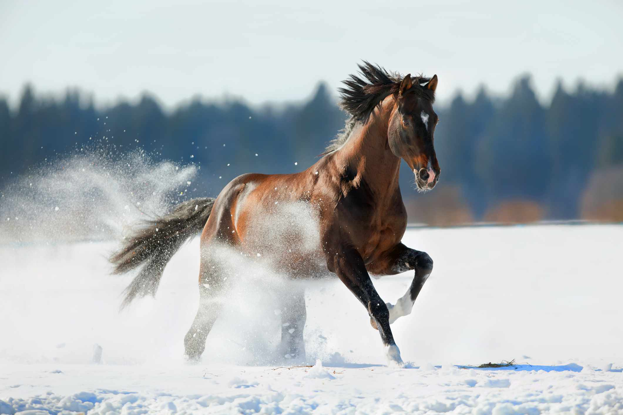Bay Trakehner cantering in the snow