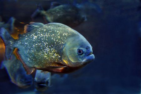 Fish can be omnivores herbivores or carnivores piranha a carnivore jessica solomatenkogetty images ccuart Choice Image