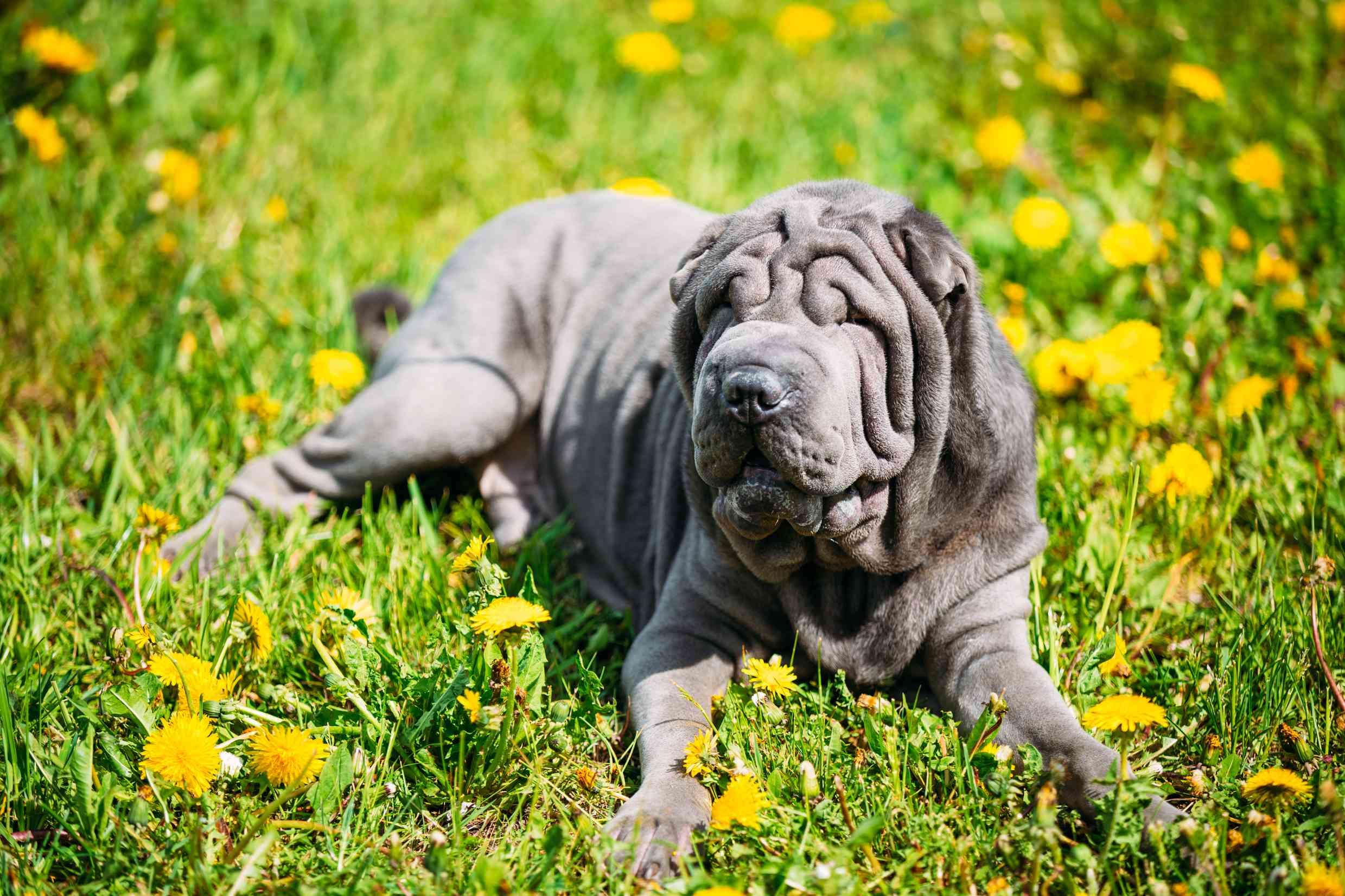 Blue Shar-Pei dog