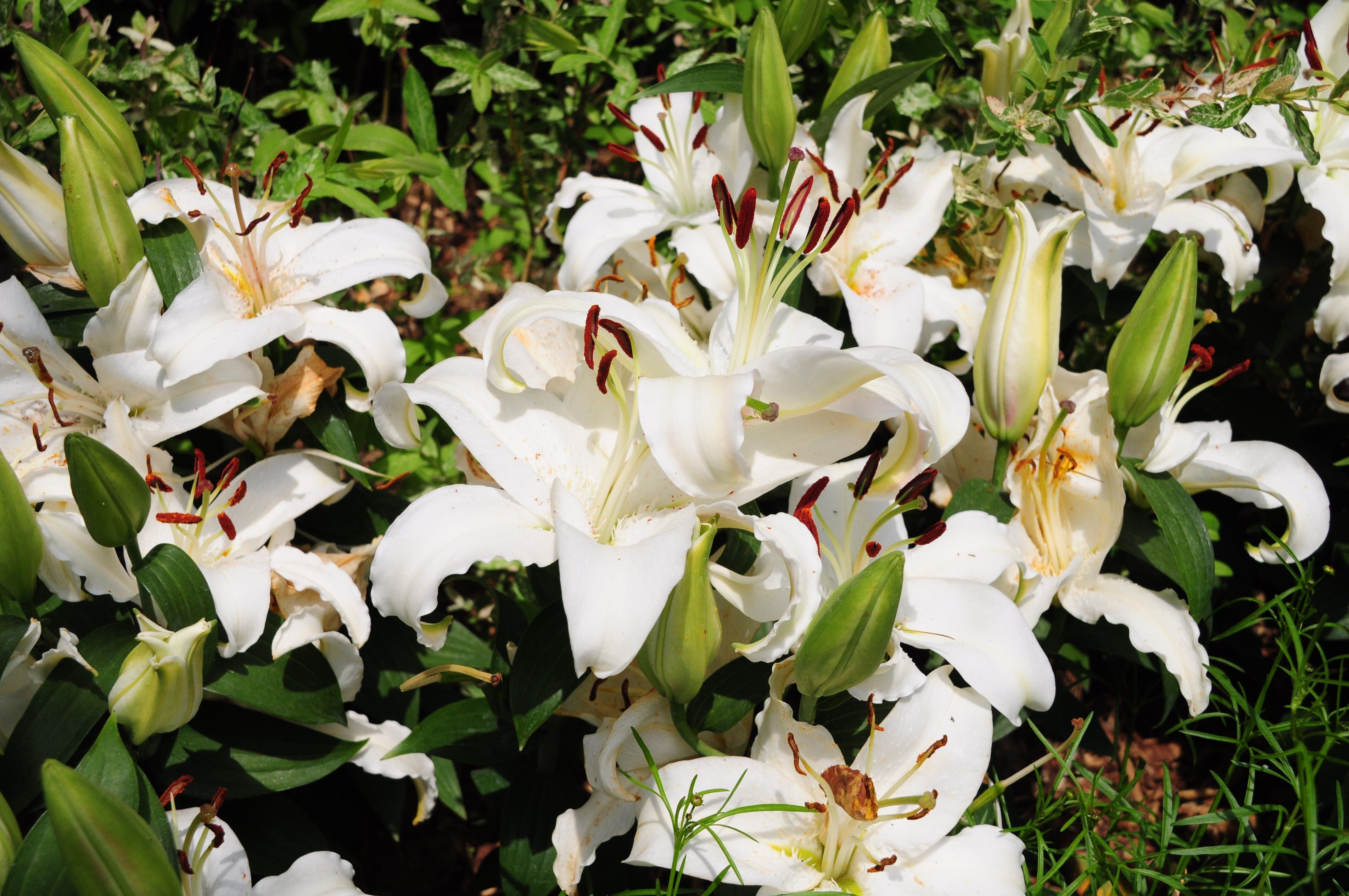 White Lily Flowers In Park