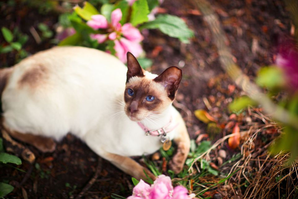 Photo of Chocolate Point Siamese Cat