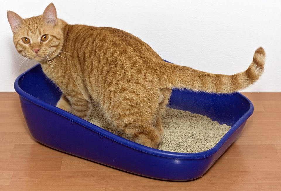 yellow cat in litter box