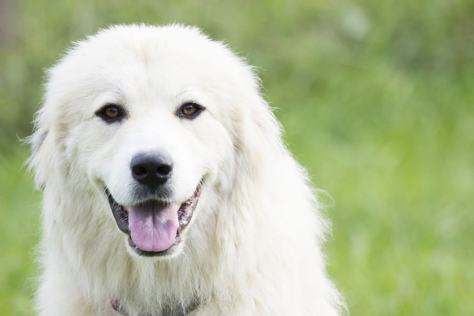 A Great Pyrenees dog outdoors.
