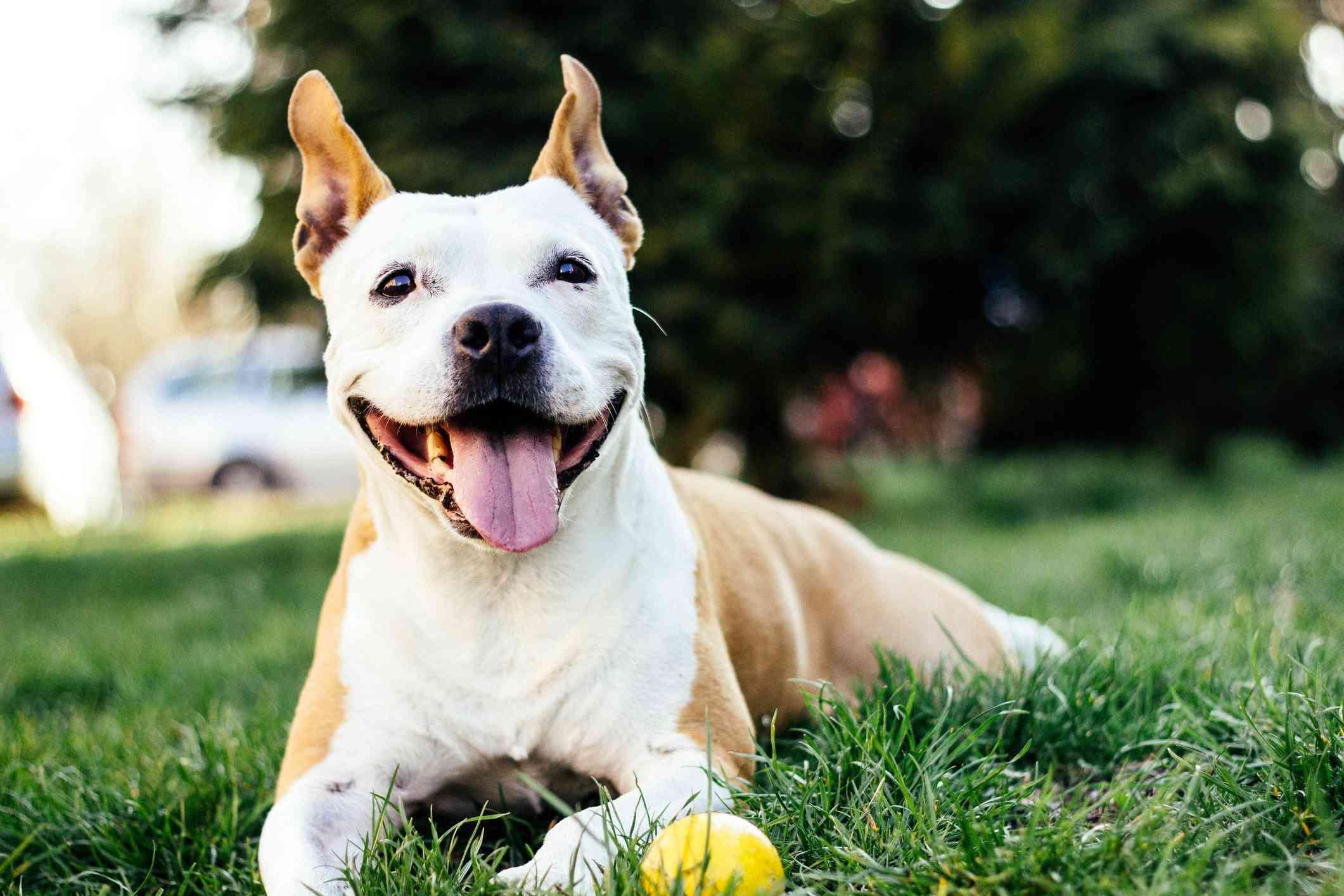 American pit bull de Staffordshire sonriendo a la cámara afuera , Cerca de Pug con la lengua colgando , Puntero alemán de pelo corto en el pasillo; perro de compañía GSP , Retrato cercano de perro maltés , Un perro salchicha en una silla , Caniche albaricoque corriendo a través de la hierba , Un terrier de Boston en una silla