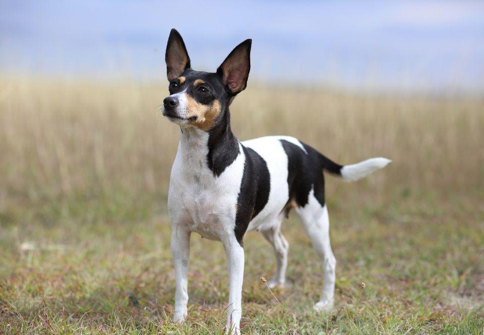 Toy Fox Terrier de pie en un campo