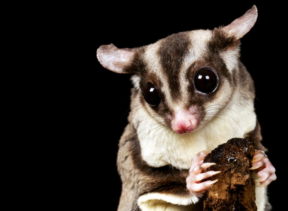Up-close of a sugar glider