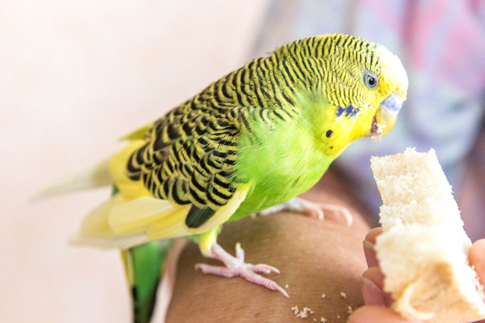 Green Parrot sits on hand and eats bread